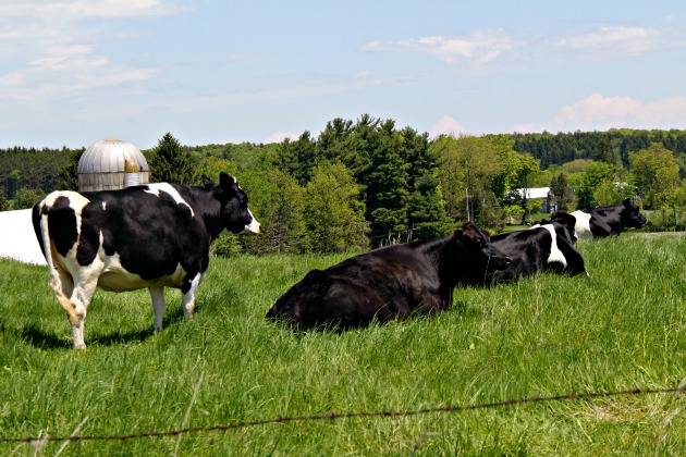 cows, upstate ny